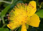 fleur millepertuis.jpg